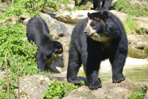 Por qué el oso de anteojos está en peligro de extinción - Cómo ayudar al oso de anteojos para evitar su extinción