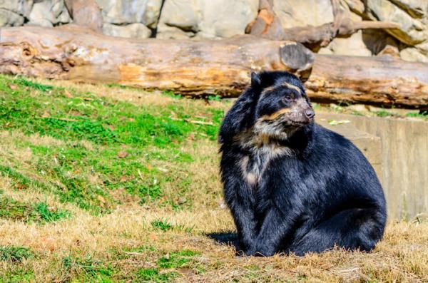 Por qué el oso de anteojos está en peligro de extinción - Por qué el oso de anteojos está en peligro de extinción - causas