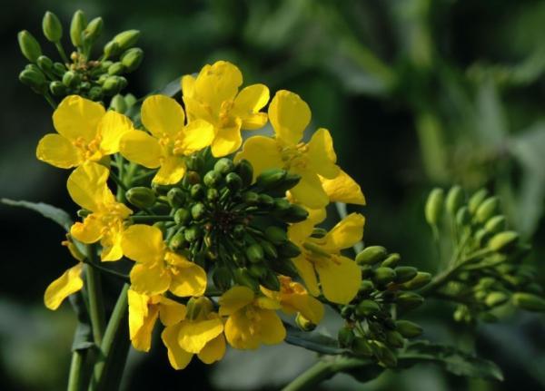 Planta de ruda: cuidados - Cómo es la planta de ruda: características