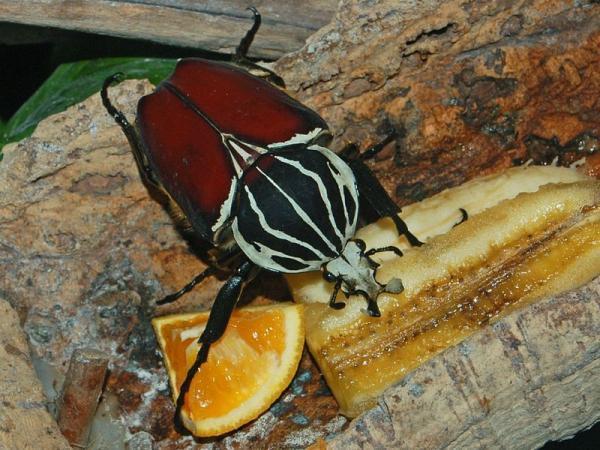 Coleópteros: qué son, características, tipos y ejemplos - Alimentación de los coleópteros