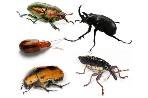 Coleópteros: qué son, características, tipos y ejemplos - Plagas de coleópteros