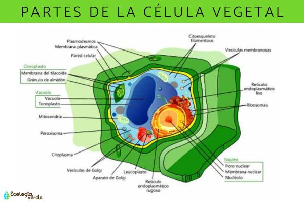 Partes de la célula vegetal - Lista de las partes de la célula vegetal