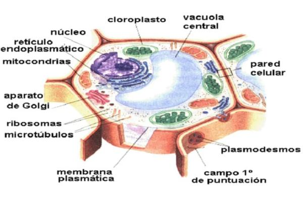 Partes de la célula vegetal - Membrana celular