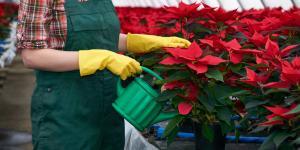 Riego de la flor de Pascua: cada cuánto y cómo hacerlo