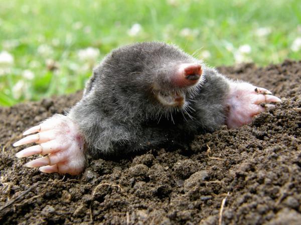 Animales que viven bajo tierra - Topos