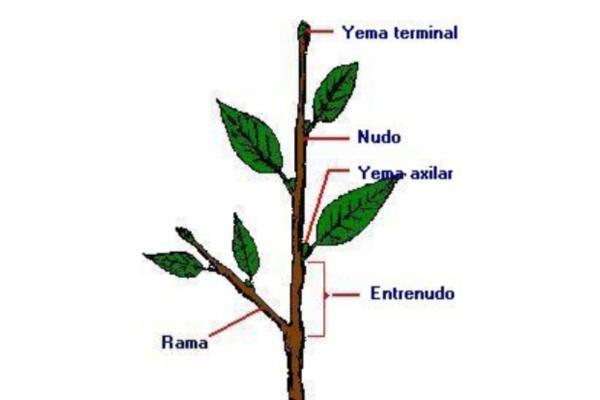 Partes del tallo y sus funciones - Las principales partes del tallo y las funciones de cada una