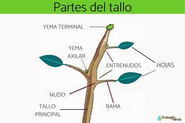 Partes del tallo y sus funciones