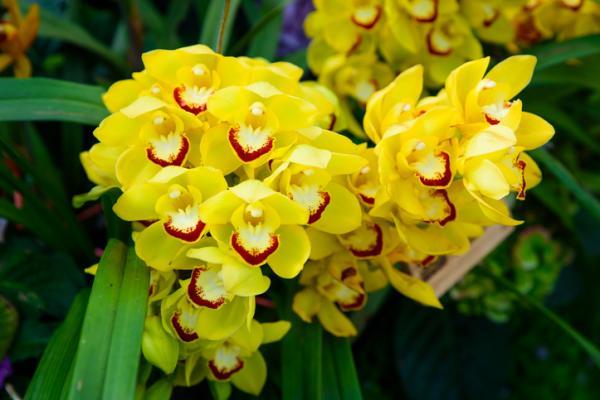 12 tipos de orquídeas - Orquídea Cymbidium