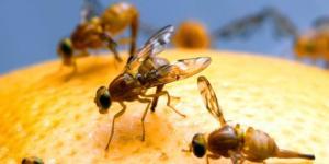 Cómo eliminar la mosca de la fruta