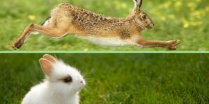 Diferencia entre liebre y conejo