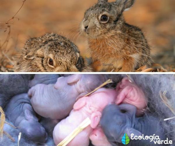 Diferencia entre liebre y conejo - Diferencia entre liebre y conejo - resumen