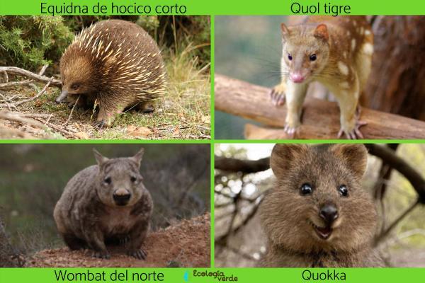 Flora y fauna de Australia - Animales en peligro de extinción en Australia