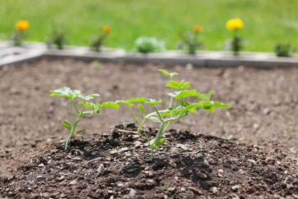 Plantar melones: cuándo y cómo hacerlo - Cultivo y cuidados de los melones