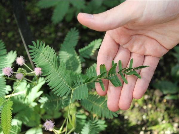 Las plantas más raras del mundo y sus nombres - Plantas raras que se mueven