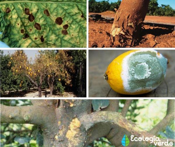 Plagas y enfermedades del limonero - Enfermedades del limonero - nombres y fotos