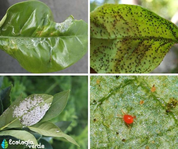 Plagas y enfermedades del limonero - Plagas del limonero - nombres y fotos