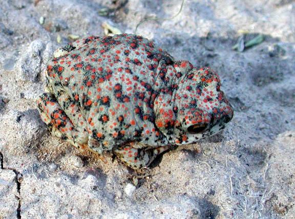 Qué animales son anfibios y dónde se encuentran - Anfibios de estepa o desierto