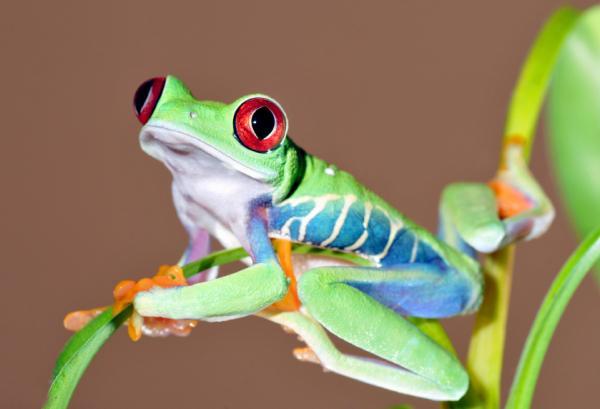 Qué animales son anfibios y dónde se encuentran - Anfibios de zonas tropicales o subtropicales