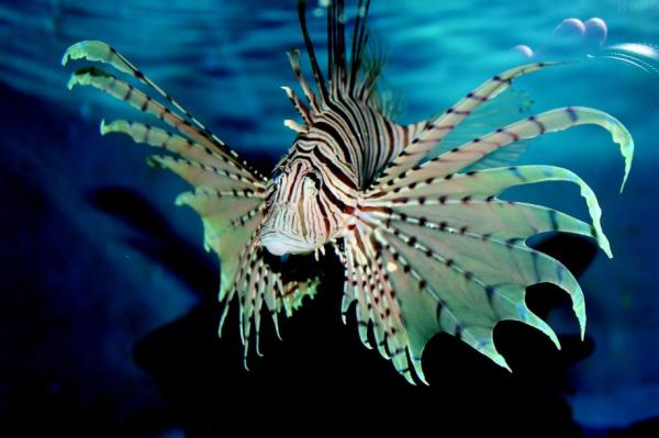 The most dangerous marine animals in the world - Lionfish