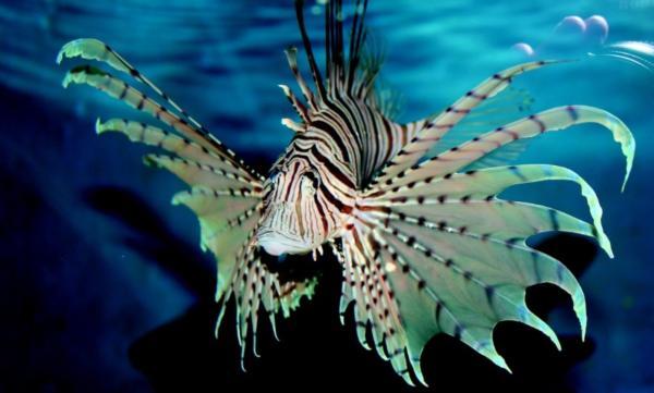 Los animales marinos más peligrosos del mundo - Pez león