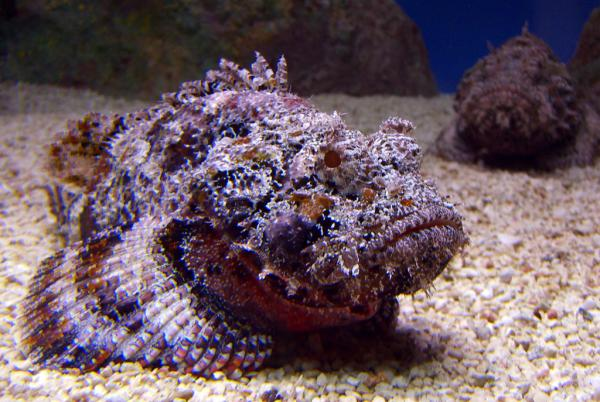 The most dangerous marine animals in the world - Stone fish