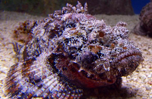 Los animales marinos más peligrosos del mundo - Pez piedra