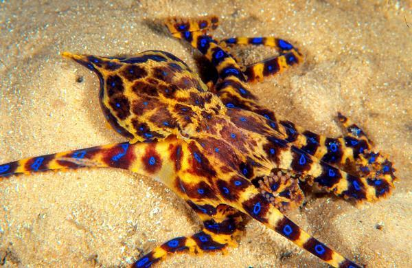 The most dangerous marine animals in the world - Blue-ringed octopus