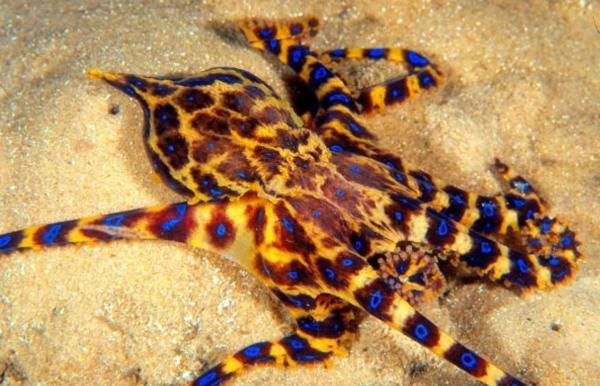 Los animales marinos más peligrosos del mundo - Pulpo de anillos azules