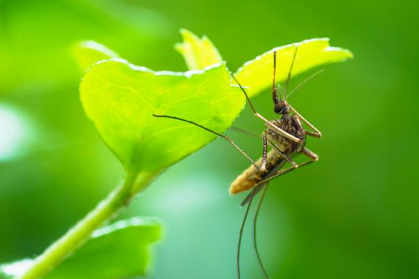Cómo eliminar los mosquitos en las plantas
