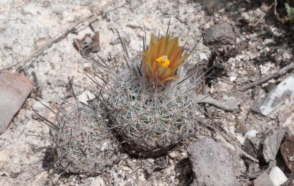 Plantas en peligro de extinción en México - La mandrágora o Turbinicarpus mandragora