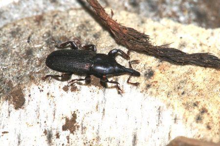 Animales en peligro de extinción en Canarias - Picudo de la tabaiba de monte (Rhopalomesites euphorbiae)