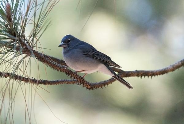 Animales en peligro de extinción en Canarias - Pinzón azul de Gran Canaria (Fringilla teydea)