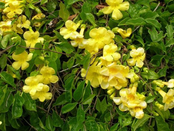 60 plantas medicinales del Perú y para qué sirven - Uña de gato: planta medicinal originaria del Perú