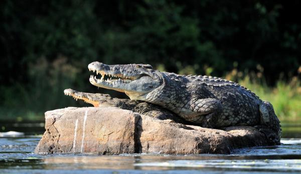 Características principales del cocodrilo para niños