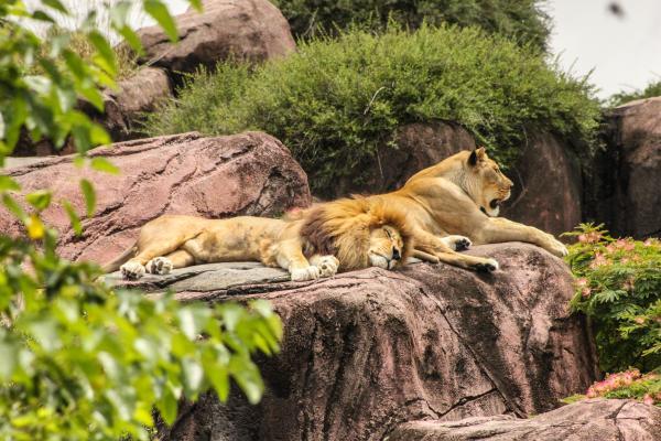 Tipos de felinos, sus características y ejemplos - León