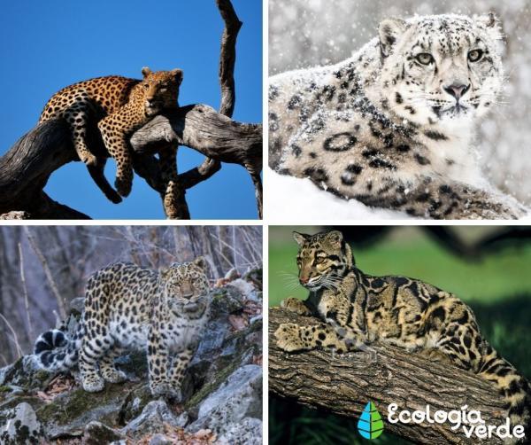 Tipos de felinos, sus características y ejemplos - Leopardos