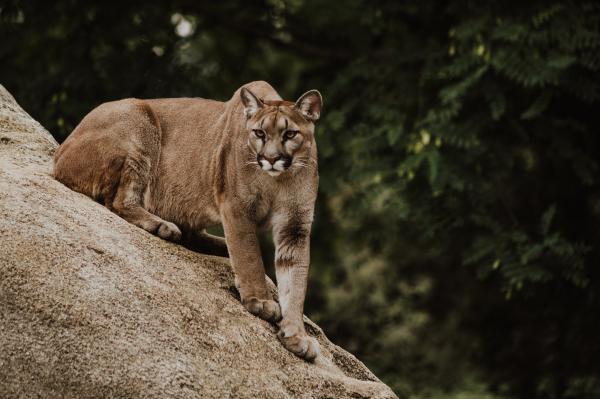Tipos de felinos, sus características y ejemplos - Puma