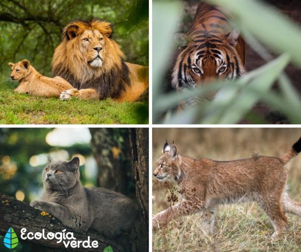 Tipos de felinos, sus características y ejemplos