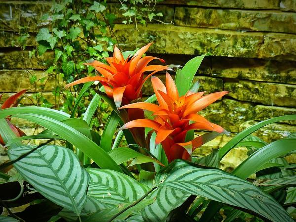 Cuidados de las plantas bromelias