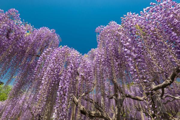 Glicina o wisteria: características y cuidados - Glicina o wisteria: características