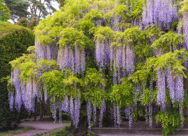 Glicina o wisteria: características y cuidados