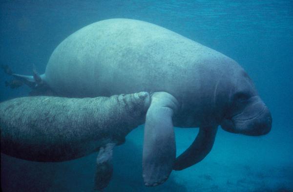 16 animales en peligro de extinción en Colombia - Manatí del Caribe (Trichechus manatus)