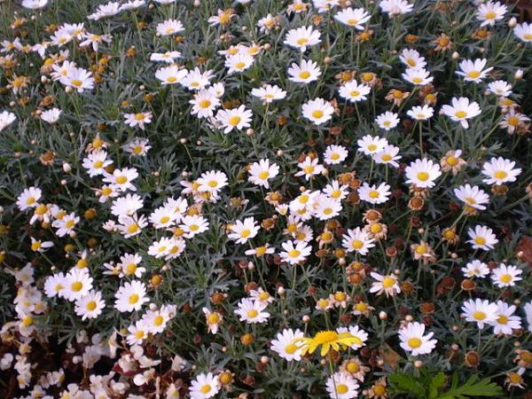 Tipos de margaritas - Margarita arbustiva (Chrysanthemum frutescens)