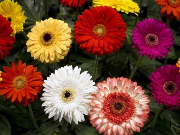 Tipos de margaritas - Margarita gerbera (Asteraceae)