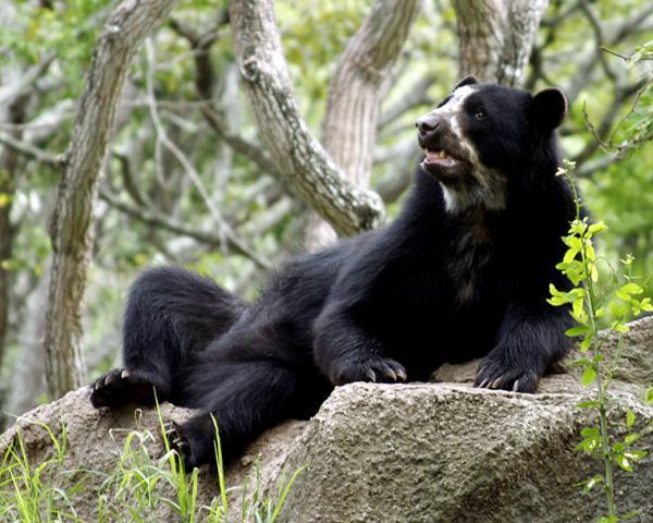 16 animales en peligro de extinción en Colombia - Oso de anteojos (Tremarctos Ornatus)