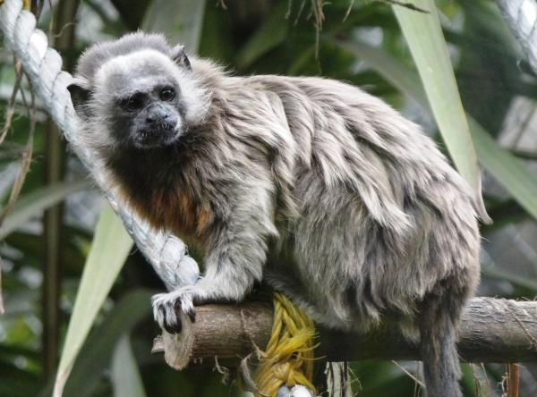 16 animales en peligro de extinción en Colombia - Tití gris (Saguinus leucopus)