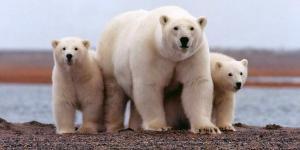 El oso polar está en peligro de extinción