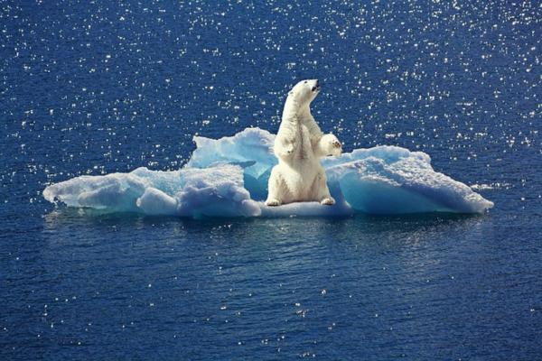 ¿El oso polar está en peligro de extinción? - Por qué el oso polar está en peligro de extinción