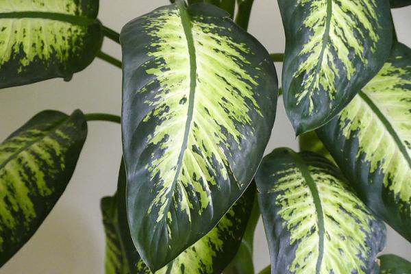 Plantas de hojas grandes - Dieffenbachia amoena