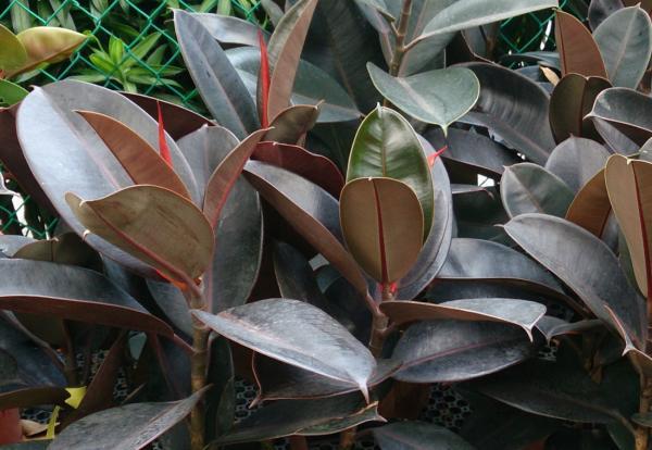 Plantas de hojas grandes - Ficus elástica